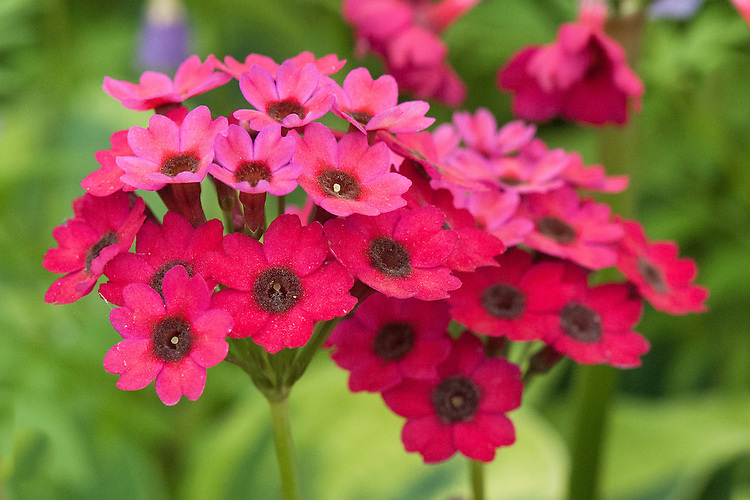 Primula japonica 'Carminea', mid May. A Japanese primrose with deep, carmine red flowers.
