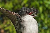 Eastern Kingbird (Tyrannus tyrannus), despite its name, is found from Atlantic to Pacific coast of North America.