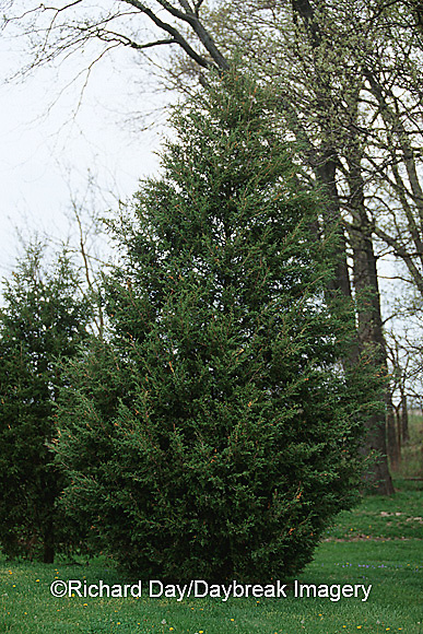 63808-029.11 Eastern Red Cedar (Juniperus virginiana)  Marion Co.  IL