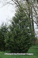63808-029.11 Eastern Red Cedar (Juniperus virginiana)  Marion Co.  IL