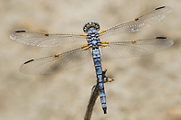 389270013 a wild male bleached skimmer libellula composita near a large pond in southern inyo county california