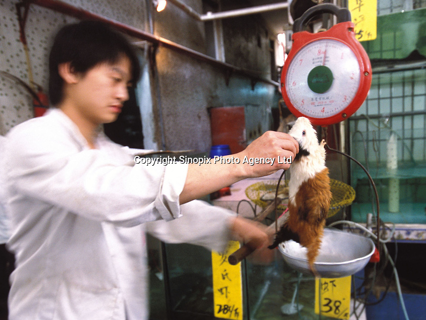 A guinea pig is weighed at a restaurant specialising in exotic meats. Guinea pigs are sold as popular food in Morning Dew Meat Special Restaurant that is used in hot pot and a medicinal broth that is believed to be good for health and to keep the hair from going grey...PHOTO BY SINOPIX.