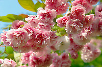 Stock Photos of close up of pink cherry blossom in a cherry orchard. Funky stock photos library