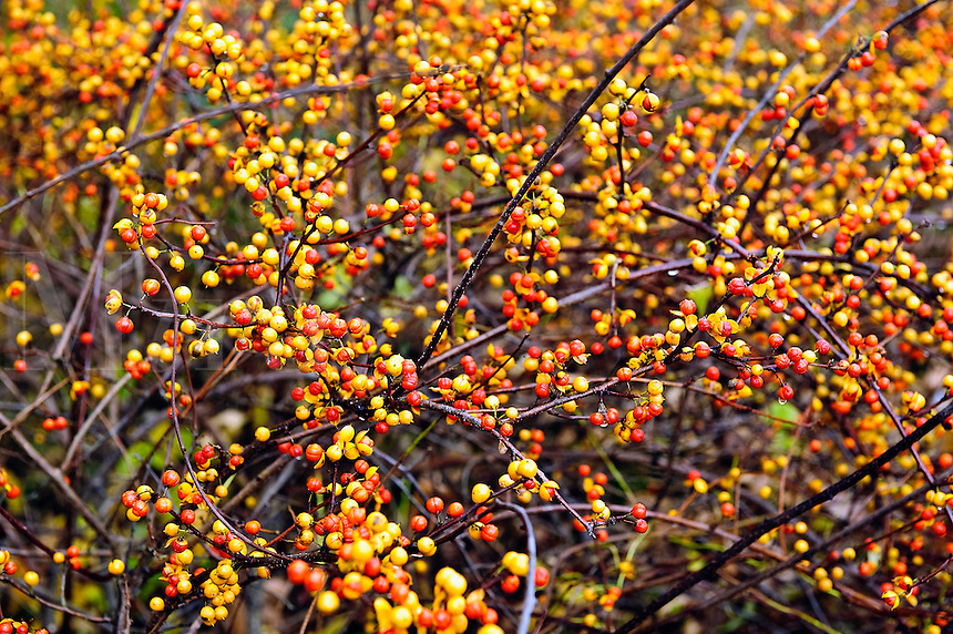 Wild berries in autumn, Connecticut