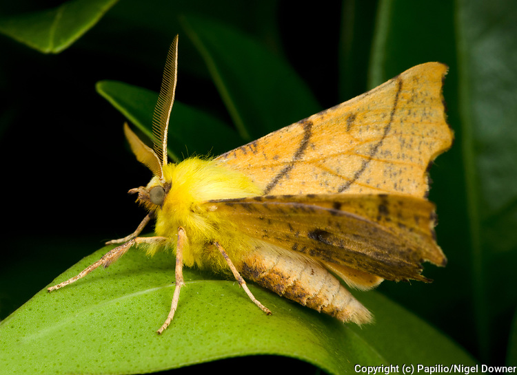 Close-up profile of a Canary-shouldered thorn moth (Ennomos alniaria) resting with wings partially folded on a leaf  in a Norfolk garden in summer