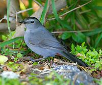 Adult gray catbird