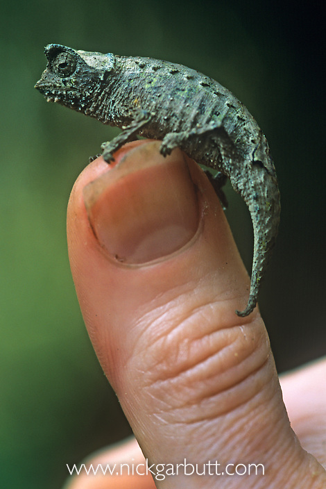 Stump-tailed or Leaf Chameleon (Brookesia superciliaris) on thumb. Andasibe-Mantadia National Park, Eastern Madagascar.