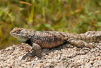 442800003 a wild male yellow-backed spiny lizard sceloporus uniformis displays on a rock in joshua tree national park san bernardino county california united states