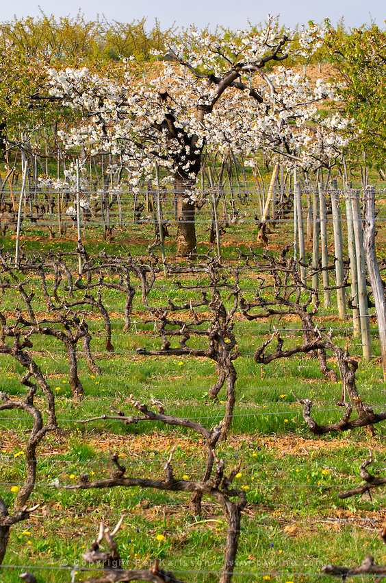 The Maison Blanche vineyard with vines trained in Cordon Royat and an apricot tree in bloom. The Hermitage vineyards on the hill behind the city Tain-l'Hermitage, on the steep sloping hill, stone terraced. Sometimes spelled Ermitage. Tain l'Hermitage, Drome, Drôme, France, Europe