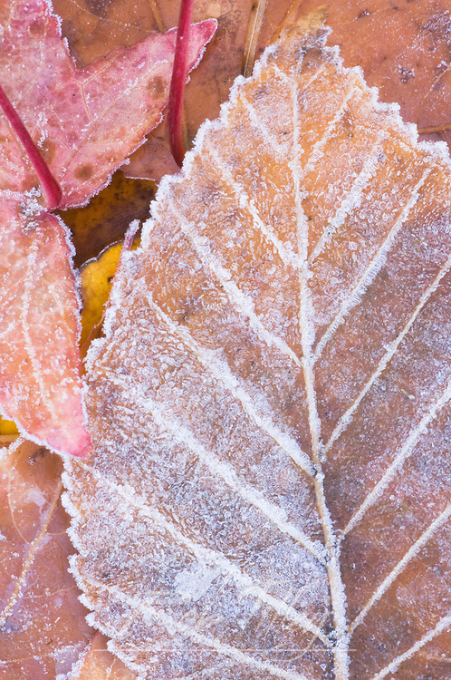 Frost on Paper Birch Leaf, WA, USA