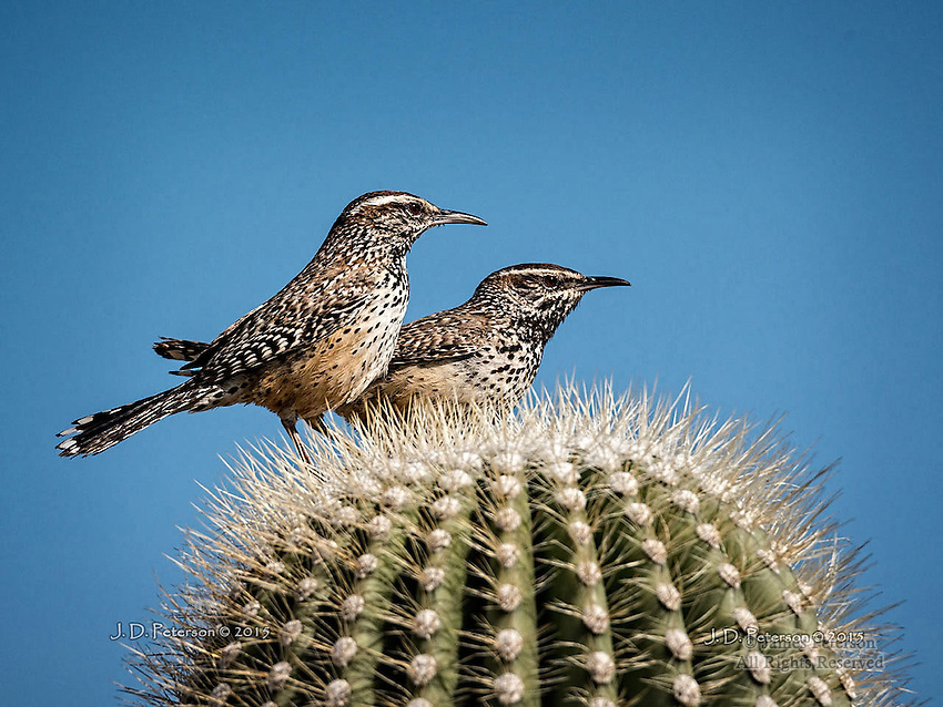 Cactus Wrens near Lake Pleasant, Arizona