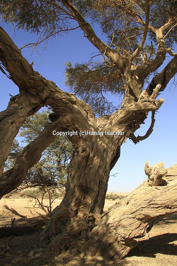 Israel, Arava, Acacia Raddiana at Hai Bar, the National Biblical Wildlife Reserve
