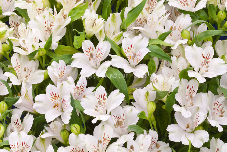 Alstroemeria virginia white flowers plant flower stock alstroemeria virginia white flowers mightylinksfo Gallery