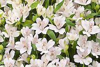 Alstroemeria 'Virginia' white flowers