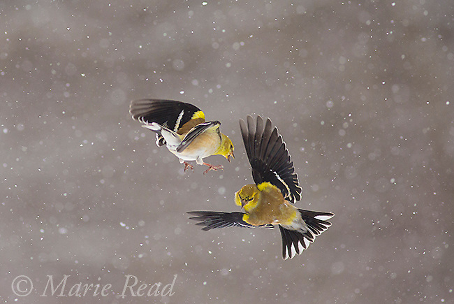 American Goldfinches (Spinus tristis) two fighting in midair during snowstorm, New York, USA