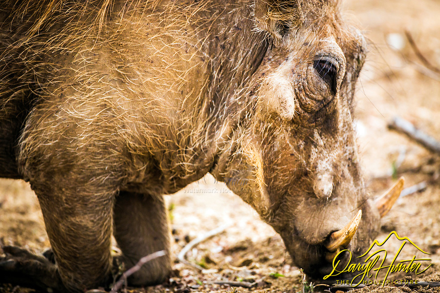 "Warthogs are members of the same family as domestic pigs, but present a much different appearance. These sturdy hogs are not among the world's most aesthetically pleasing animals—their large, flat heads are covered with ""warts,"" which are actually protective bumps. Warthogs also sport four sharp tusks. They are mostly bald, but they do have some sparse hair and a thicker mane on their backs."