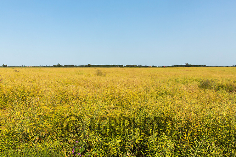 23.6.2020 Oilseed rape before desiccation <br /> ©Tim Scrivener Photographer 07850 303986<br />      ....Covering Agriculture In The UK.