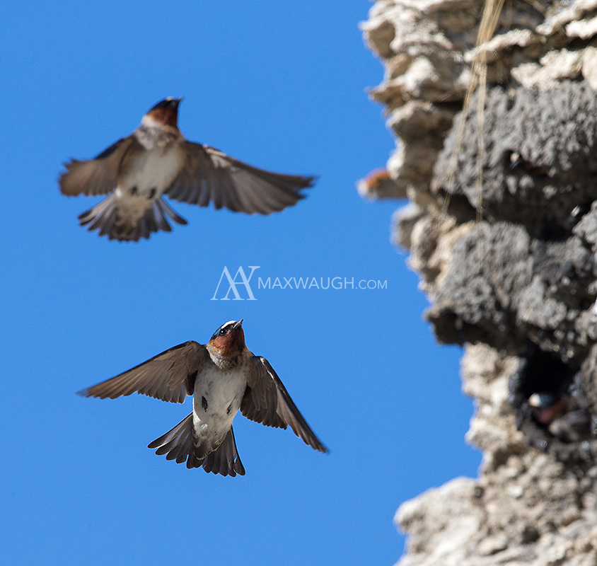 American cliff swallows return to Yellowstone each spring to rebuild their mud nests.