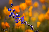 """Poppies and Lupine bloom across the landscape near Bartlett Lake in central Arizona during a season of """"Superbloom"""" during a very wet winter in the desert. Poppies and Lupine bloom across the landscape near Bartlett Lake in central Arizona during a season of """"Superbloom"""" during a very wet winter in the desert."""