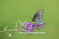 03004-01415 Pipevine Swallowtail butterfly (Battus philenor)  male on butterfly bush (Buddleia davidii)  Marion Co., IL