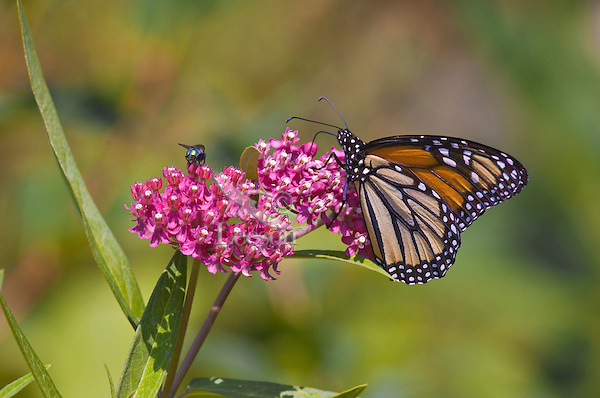 Monarch Buttterfly (Danaus plexippus) feeds on swamp milkweed flowers (Asclepias incarnata) prior to laying eggs on the leaves.  Monarchs lay their eggs on milkweed because it is the only food the caterpillars will eat.  Summer, Nova Scotia, Canada.