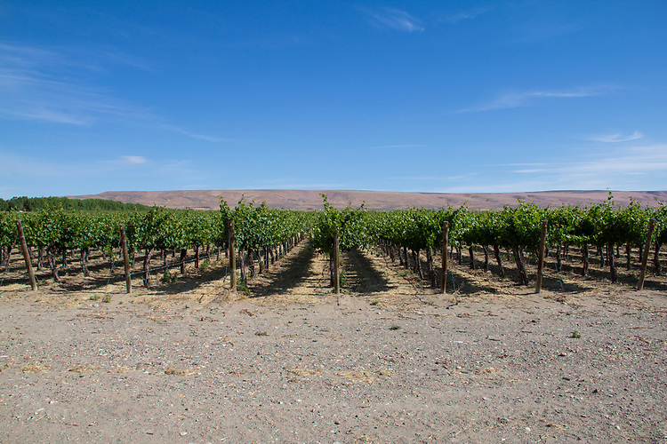 Vineyards, Wahluke Slope, new vineyards, spring growth, wine country, Eastern Washington, Washington State, Pacific Northwest, USA,<br /> Mattawa, Washington State, Pacific Northwest, USA, farms, agriculture,