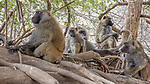 Central Africa, troop of olive baboons (Papio anubis), also called the Anubis baboon