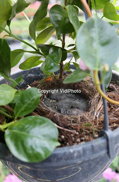 Foto: VidiPhoto<br /> <br /> VALBURG - Deze hangplant bij bloemist Erik Jansen uit Valburg in de Betuwe kan dankzij een viertal 'hangjongeren' zeker drie weken niet verkocht worden. Een kwikstaartje heeft zojuist haar eieren uitgebroed in deze Sundaville voor in de tuin. En dat is niet de enige plant waarin de vogeltjes zich blijkbaar prima thuis voelen. Door de open ramen van de kas hebben nog twee andere kwikstaartjes een gezinnetje gesticht bij Jansen. Een jaarlijks ritueel. De bloemist is er inmiddels aan gewend dat flora en fauna elkaar ontmoeten in zijn kassen. &quot;Vorig jaar kreeg een kwitstaartje jongen in een begonia. Een klant wilde juist di&eacute; plant hebben. Ze vond het geen probleem om vier weken te wachten totdat de jongen uitgevlogen waren.&quot;