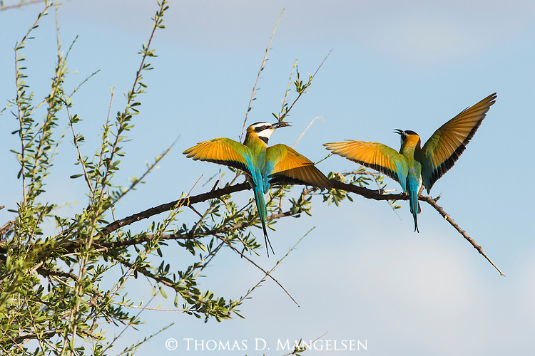 A white-throated bee-eater pair perform a mating display in Samburu Game Reserve, Kenya.