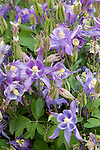 AQUILEGIA 'WINKY EARLY SINGLE BLUE SKY', LARKSPUR