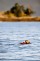 Adult sea otter (Enhydra lutris) feeding around offshore islands. Great Bear Rainforest, British Coilumbia, Canada. September 2018