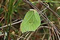 Zitronenfalter, Zitronen-Falter, Gonepteryx rhamni, Überwinterung, brimstone, brimstone butterfly, overwinter survival, hibernation