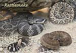 FB-S157 Rattlesnakes, 4x6 postcard