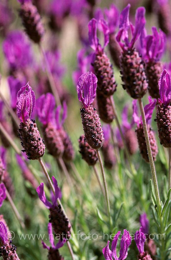 Schopf-Lavendel, Schopflavendel, Lavendel, Lavandula stoechas, Italian Lavender