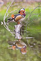 Colorful Mandarin Ducks