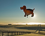 A dog-shaped hot air balloon is back-lit by the rising sun as it takes flight over fields and pastures in early morning at the annual Winchester Balloon Festival.  Long Branch Farm, Winchester, Virginia, USA.  © RickCollier.com.