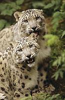 Schneeleopard, Schnee-Leopard, Irbis, Panthera uncia, Uncia uncia, snow leopard, L'once, irbis, panthère des neiges, léopard des neiges