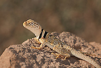 414390001 a wild male great basin or desert collared lizard crotaphytus insularis bicinctores sits on a rock outcrop in redding canyon in owens valley inyo county california united states