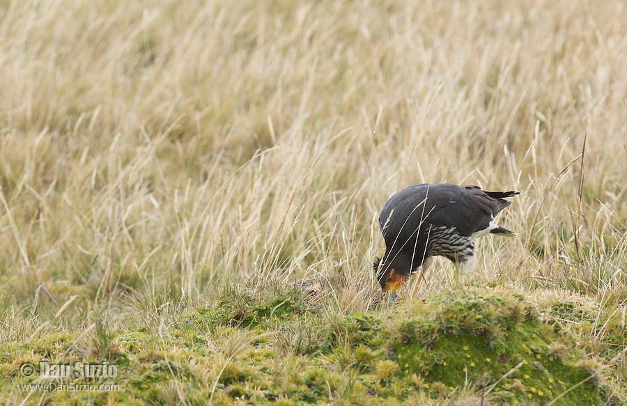 Carunculated caracara, Phalcoboenus carunculatus, hunting insects and other small prey at Antisana Ecological Reserve, Ecuador
