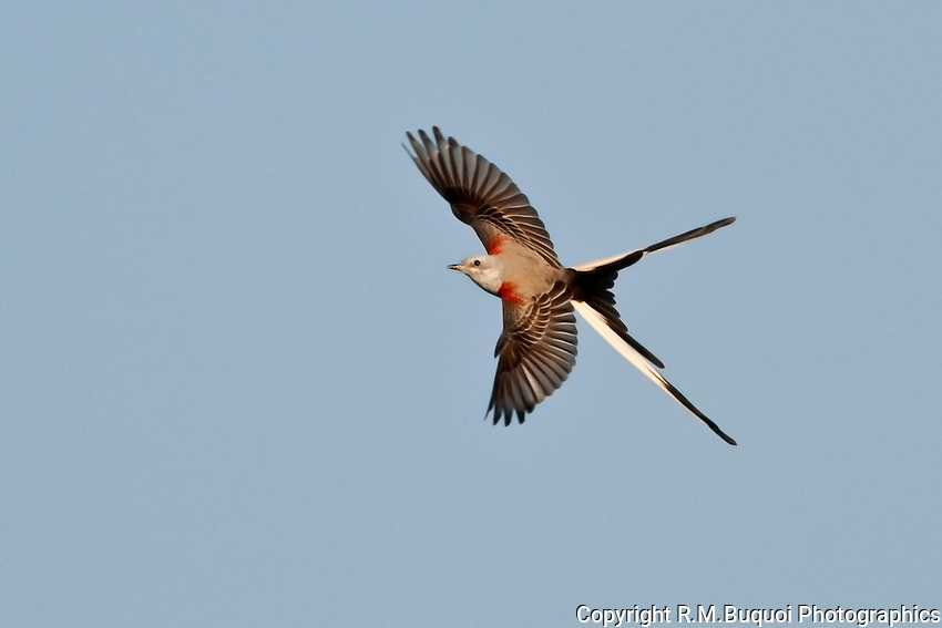 Scissor-tailed Flycatcher in Flight