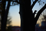 A squirrel climbs a treet to scout for acorns as sun sets on campus on November 12, 2016.