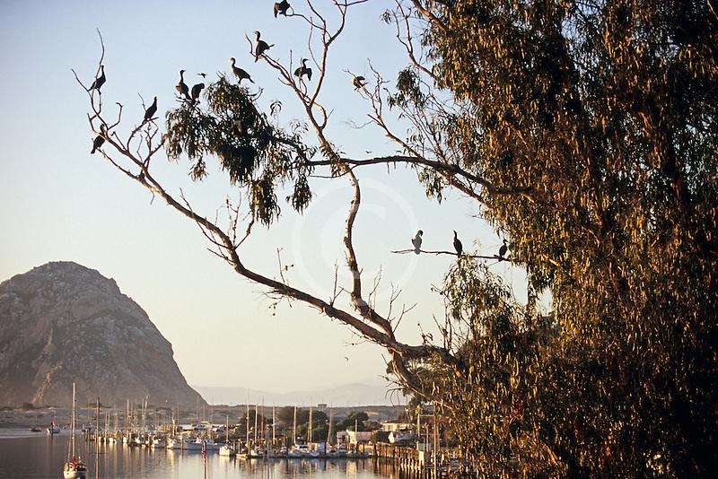 California, Morro Bay, Cormorants in tree, Morro Rock