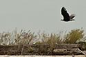 Soaring Eagle, Port Angeles, WA
