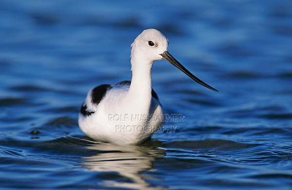American Avocet (Recurvirostra americana), adult winter plumage, Rockport, Texas, USA