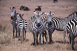 Common zebras and wildebeasts in East Africa