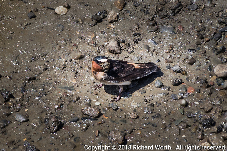 A Cliff swallow poked around in the mud till it found something worth pulling out to eat.
