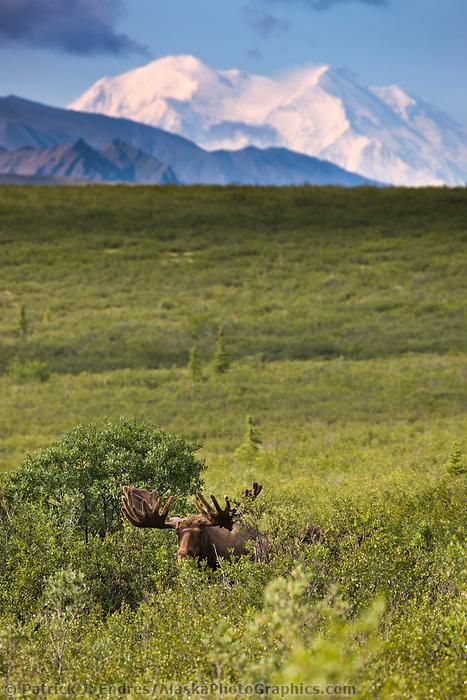 Bull Moose In The Tundra Of Denali National Park, Interior, Alaska. Mt. Denali, North America's Largest Peak On The Distant Horizon.
