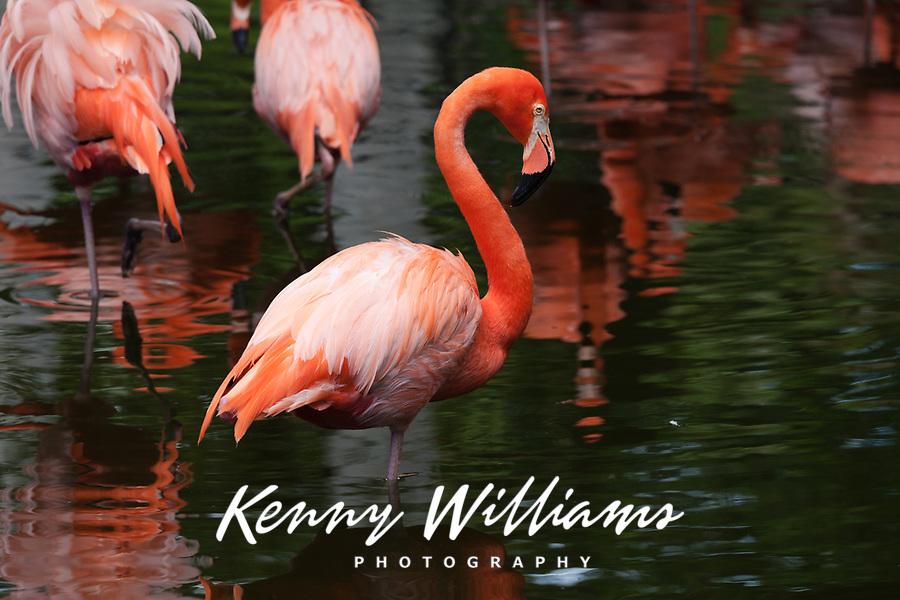 American Flamingos, (Phoenicopterus Ruber), Birds, Florida