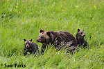 Grizzly bear sow and young cubs. Yellowstone National Park, Wyoming.
