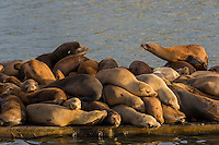 California sea lion (Zalophus californianus) crowding together (sunning/resting) on a boat dock.  Central California Coast.  Sea lions often crowd together for warmth.